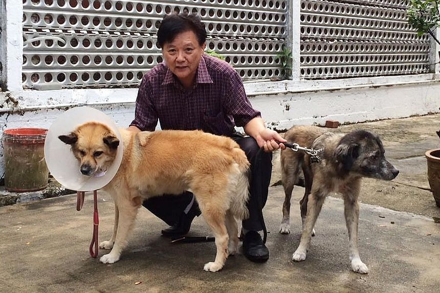 Mr Donald Wong with his two dogs, which fought off a black spitting cobra (above right). Yeogi (left) was struck in its right eye by the cobra's venom, but the other dog, Kumar, was unharmed.