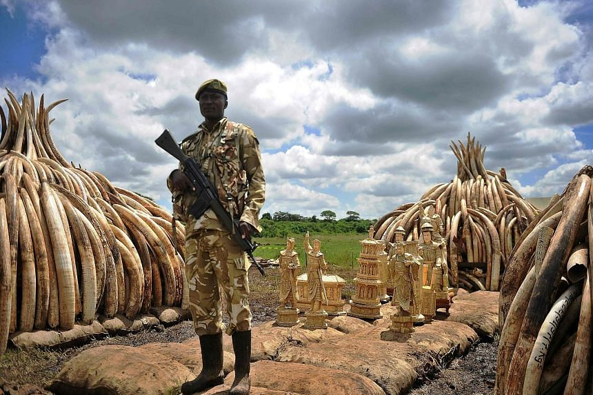 A Kenya Wildlife Service ranger standing guard beside an illegal stockpile of elephant tusks and ivory figurines at Nairobi's national park yesterday. The Kenyan government is preparing to burn about 105 tonnes of elephant tusks and 1.3 tonnes of rhi