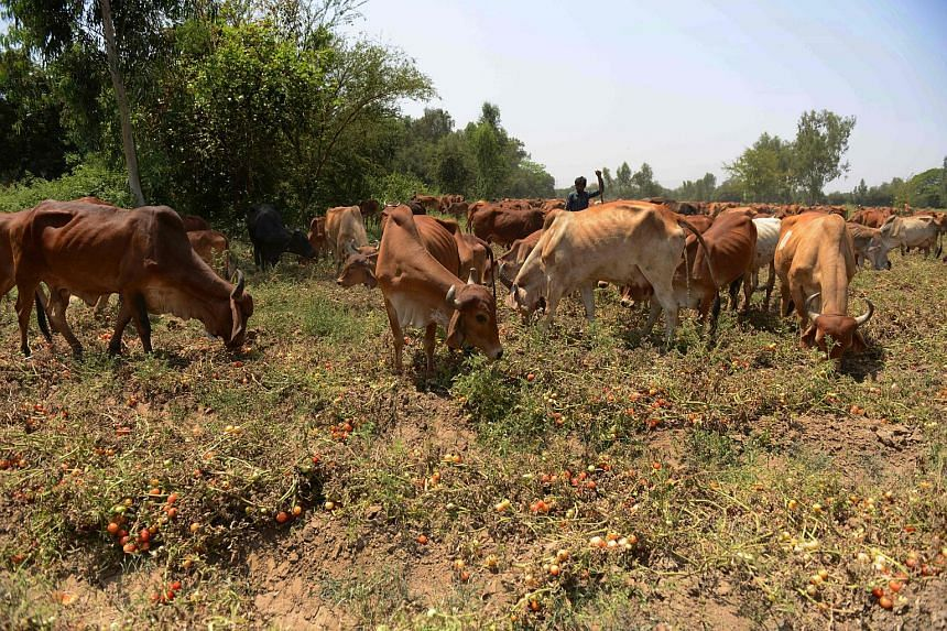 An Indian farmer grazing cows in a field of tomatoes in the village of Alindra, Nadiad Taluka District, Ahmedabad on March 27, 2016.