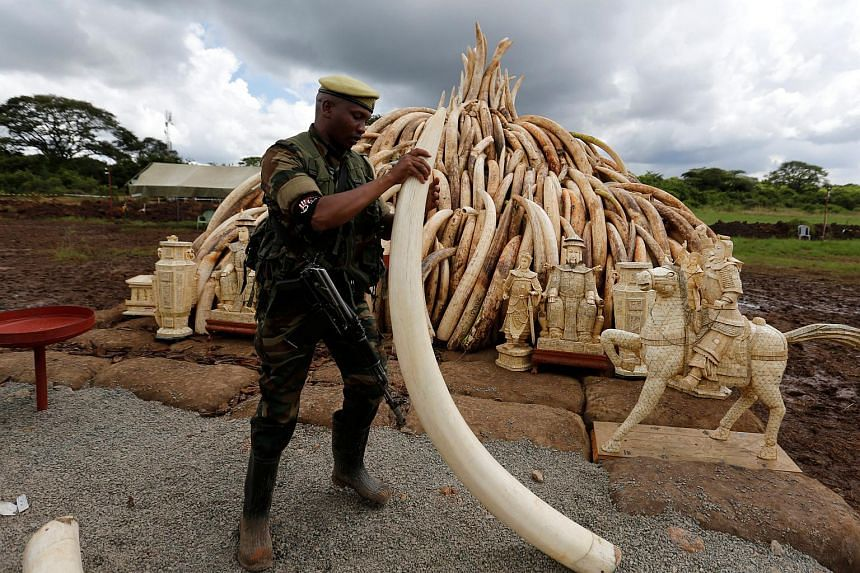 A Kenya Wildlife Service ranger stacking elephant tusks, part of an estimated 105 tonnes of confiscated ivory to be set ablaze, onto a pyre at Nairobi National Park, on April 28, 2016.