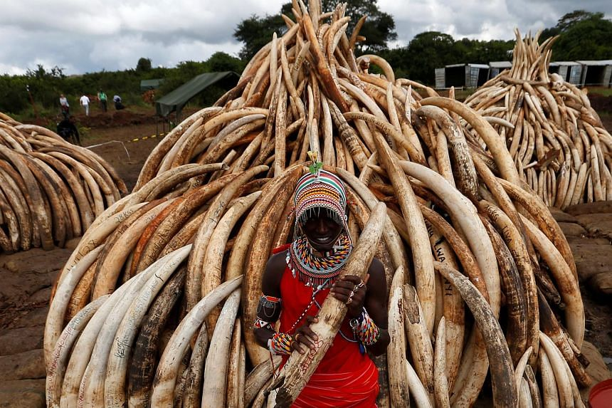 A traditional Maasai tribesman holding an elephant tusk, part of an estimated 105 tonnes of confiscated ivory to be set ablaze, at Nairobi National Park on April 28.