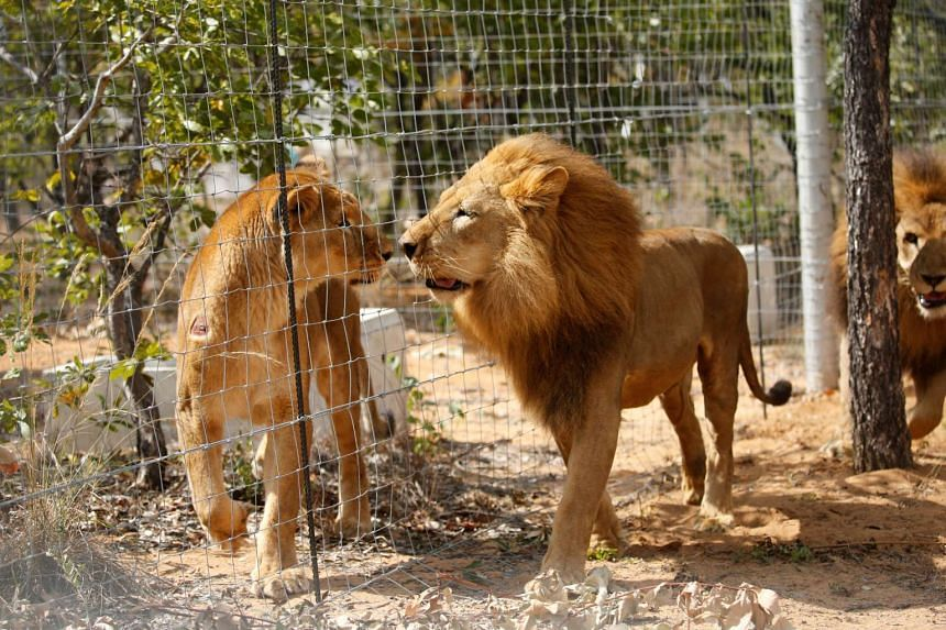 Two of the 33 newly rescued lions exploring their new enclosures at the Emoya Big Cat Sanctuary, in South Africa, on May 1, 2016.