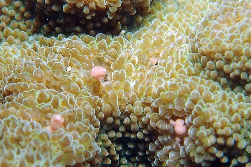 Corals spawning in the waters off Pulau Satumu on Monday. The pink globules are sperm-egg bundles. This year, the start of the local spawning period was Monday, the third night after the full moon.