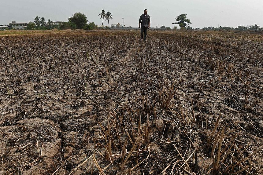 A farmer walking at his drought-hit rice field in Nonthaburi province outside Bangkok, on March 23, 2016.