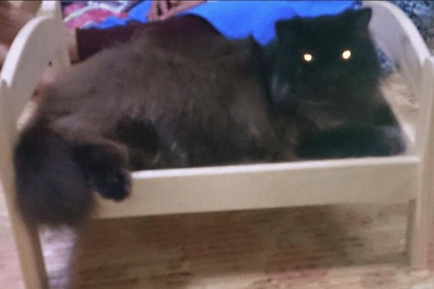 Felix, Mr Helfy's pet cat of three years.