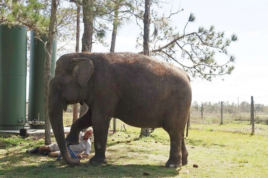 Elderly India-born elephant Mysore gets a pedicure at the Ringling Bros and Barnum and Bailey Centre.