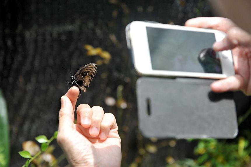 A visitor taking a photo of a king crow butterfly at the indoor butterfly sanctuary at the Science Centre.