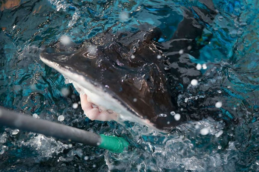 S.E.A. Aquarium has successfully bred a shark ray pup.