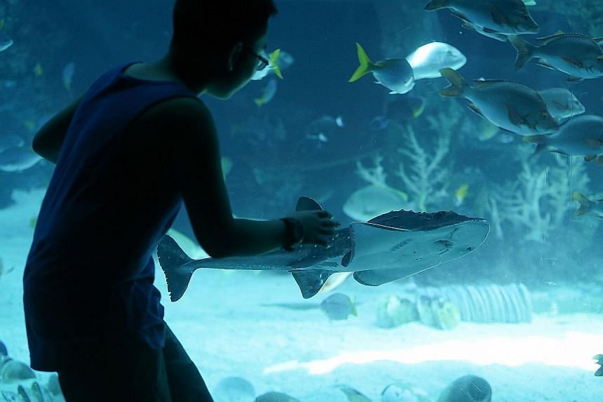 A boy getting a closer look at the shark ray pup at the S.E.A. Aquarium in Resorts World Sentosa. S.E.A. is one of the few aquariums in the world to have bred and raised a shark ray.