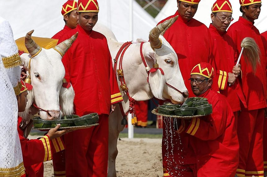 Royal sacred white oxen being offered food during the Royal Ploughing Ceremony at the Royal Ground, Sanam Luang, near the Grand Palace in Bangkok yesterday. The ancient Brahmin rite is of great importance to the country's farmers. Thousands of farmer