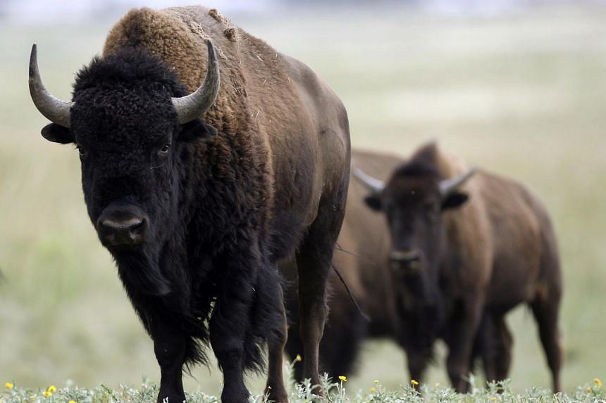 A wild bison eye a visitor at the Rocky Mountain Arsenal National Wildlife Refuge outside Denver on Aug 6, 2009.