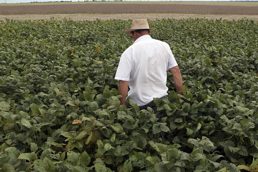 A worker walking through soybean plants in a farm in the city of Primavera do Leste in the central Brazilian state of Mato Grosso in this Feb 7, 2013, file photo.