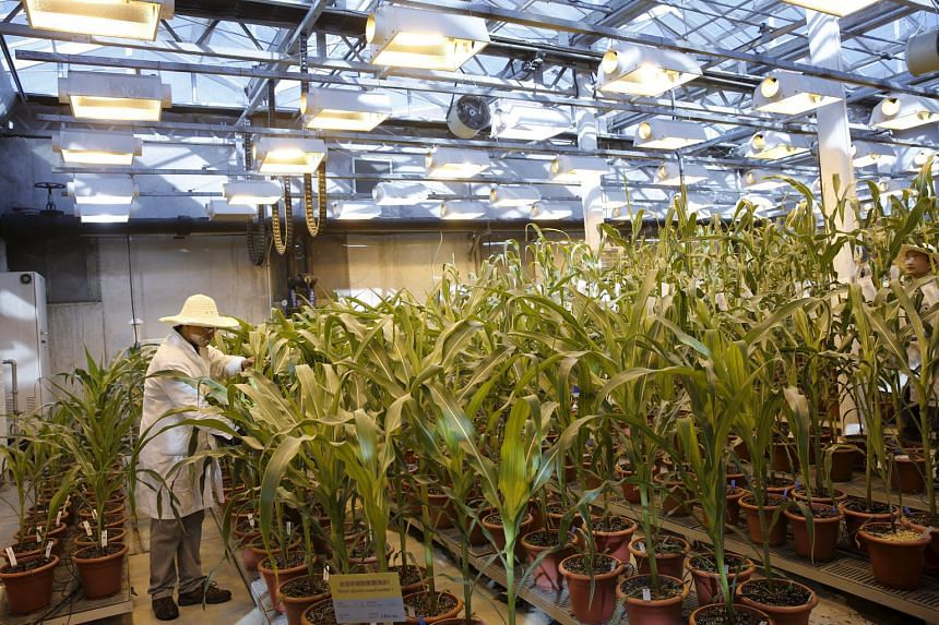 A researcher checks corn plants in a greenhouse cultivating natural corn and genetically modified corn at Syngenta Biotech Centre in Beijing. Top investor ChemChina is expected to acquire Syngenta, a huge Switzerland-based agri-business group, in a US$62