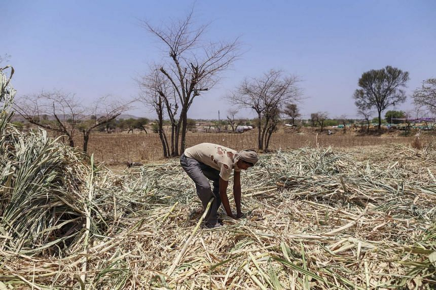 A worker collects sugarcane tops at a cattle shelter in Beed district, Maharashtra, India, on April 15, 2016.