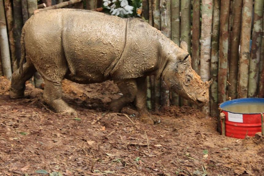 A Sumatran rhino at a sanctuary in Kutai, East Kalimantan, in a handout photo released by the World Wildlife Fund, on March 23, 2016.