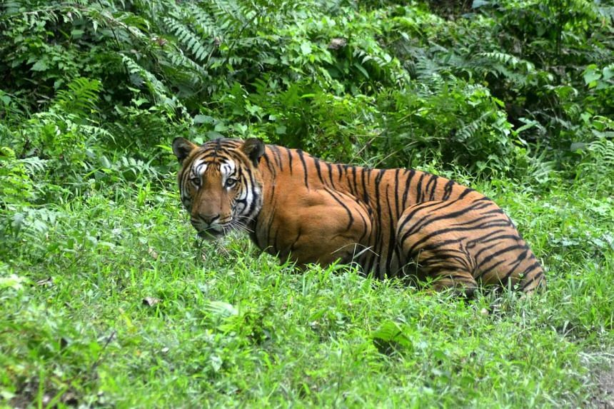 A Bengal Tiger pauses as it walks through a jungle clearing on December 21, 2014.