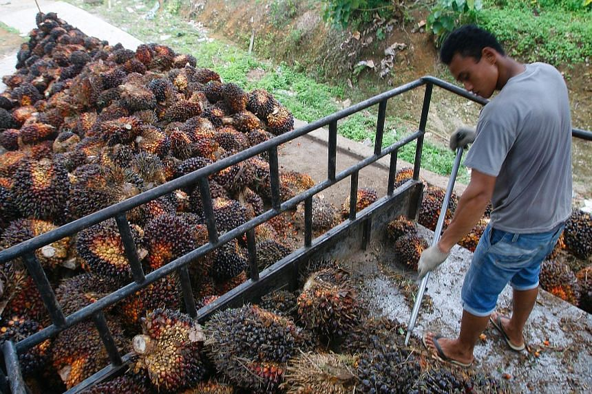 A worker harvesting fruit from oil palm trees in a village in Sumatra. Revenue from Golden Agri-Resources' plantation and palm oil mill segment fell 10.9 per cent to US$303.8 million, mainly affected by lower crude palm oil prices and production.