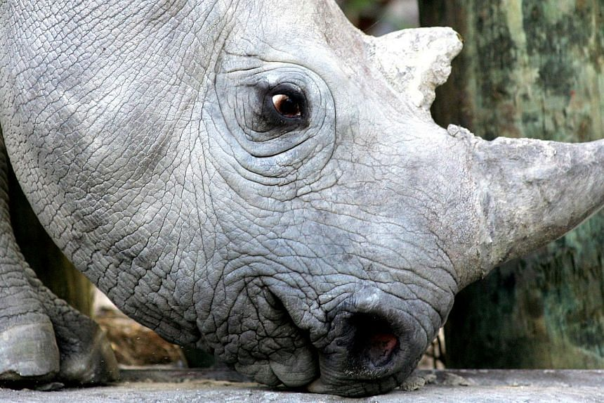 """The rhinos will be relocated to a safari park in Australia, which is being kept secret for security reasons, where they will become a """"seed bank"""" to breed future generations."""