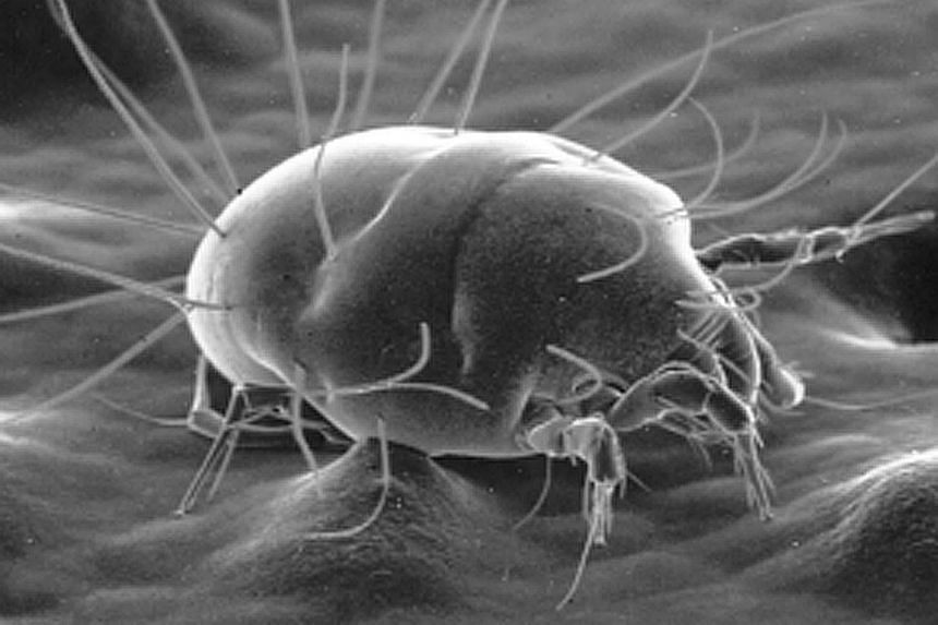 Dust mites found in beds and pillows could cause more harm to asthmatic patients than previously thought.