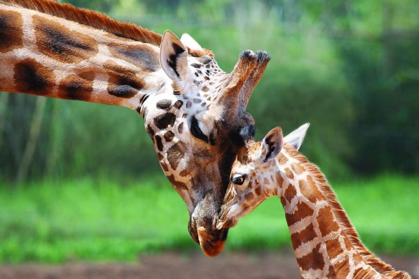 An undated handout picture made available by the Perth Zoo on 14 May 2016 shows 'Misha' the Rothschild Giraffe (left) made globally famous by the iconic image 'The Kiss,' at the Perth Zoo in Perth, Australia.