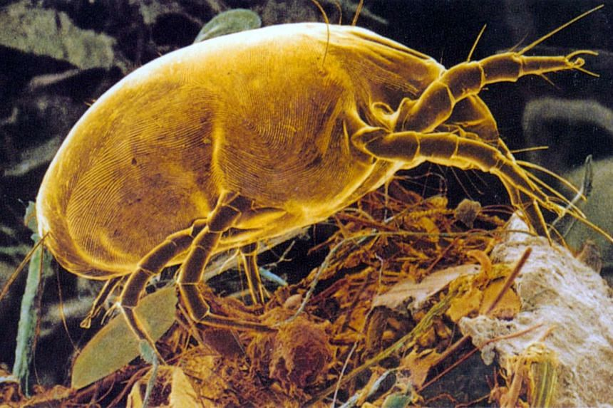 The Blomiatropicalis, or the common dust mite, which is 300 times smaller than a strand of hair.