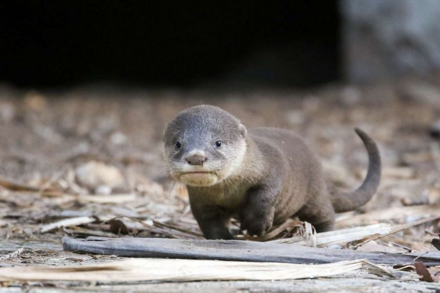 The six-week-old otter pup, Toby, from the otter pack affectionally known as the Marina 9, after it was rescued from a canal by an otter watcher.