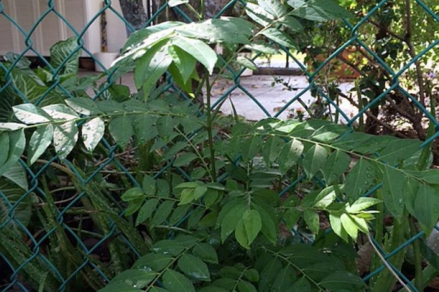 Curry tree leaves similar to those of Clausena excavata.