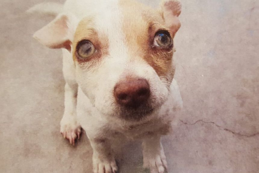 Bubba, a terrier mix puppy, was tested positive for methamphetamine and heroin, after Tustin police found it in a hotel room during an arrest.
