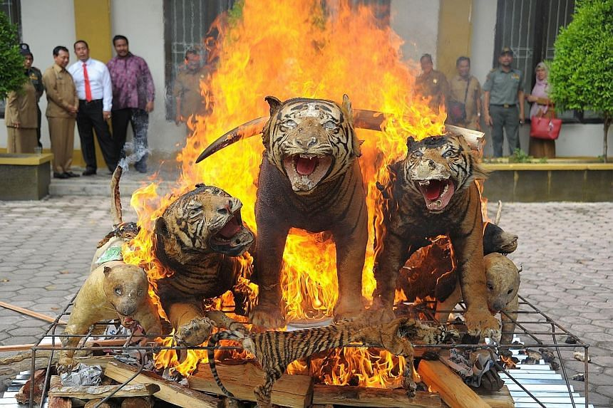 Stuffed Sumatran tigers, ivory and other confiscated items made from endangered animals being destroyed at the Aceh Forestry Ministry Office in Banda Aceh, Indonesia, yesterday. The items were seized from poachers and illegal traders of wild animals