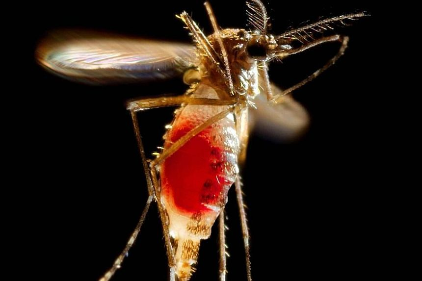 The Aedes aegypti mosquito is capable of spreading the Zika virus, which has been linked in Brazil to more than 1,300 cases of microcephaly, a rare birth defect defined by unusually small heads.