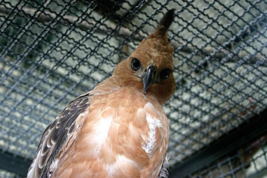 Thirteen species of Indonesian birds, including the country's national bird the Javan Hawk-eagle, are at serious risk of extinction mainly due to the pet trade, a wildlife watchdog warned.