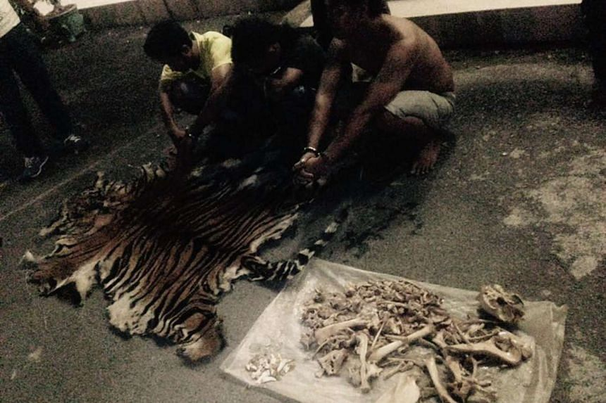 Three men suspected of poaching rare Sumatran tigers squat next to evidence of skin and bones of a tiger from Mount Leuser National Park.