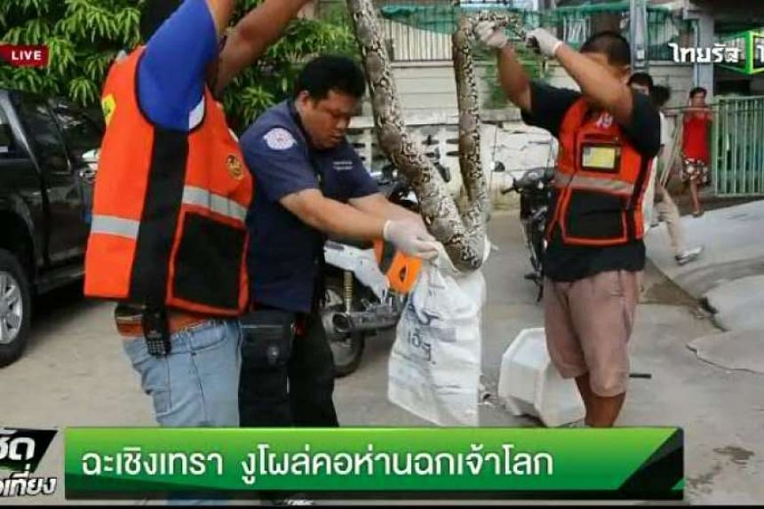Rescue workers putting the captured python in a bag.
