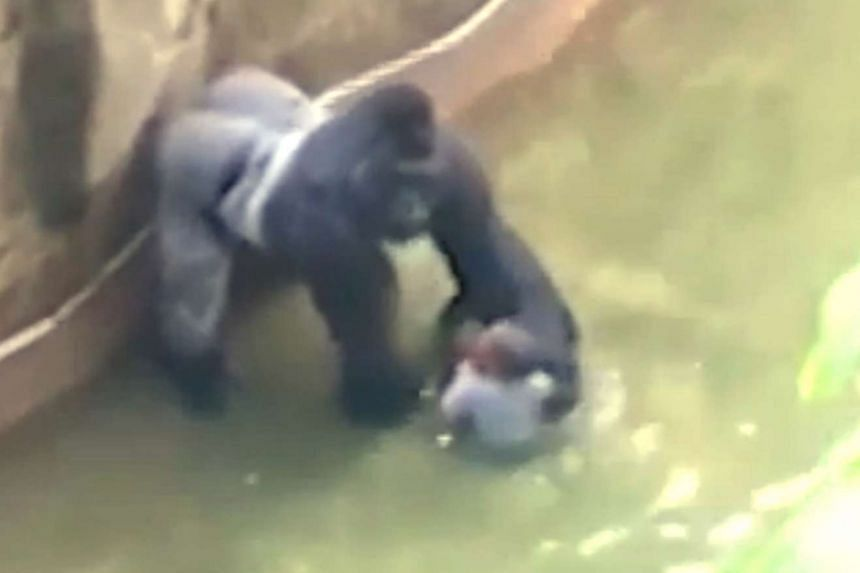 Harambe, a 17-year-old male gorilla, was shot dead after a 4-year-old boy fell into Cincinnati Zoo's gorilla enclosure on May 28, 2016.