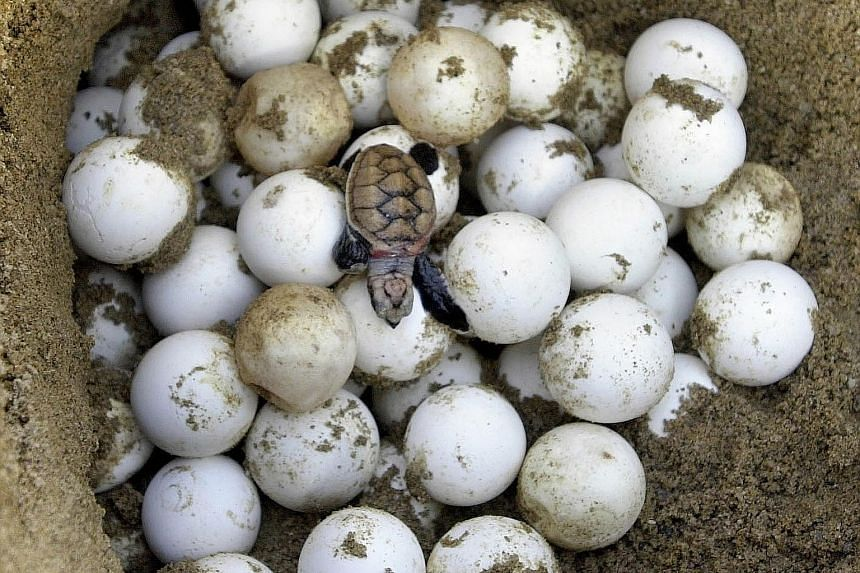 A hawksbill turtle laying between 80 and 120 eggs in broad daylight on Tanjong Beach at Sentosa. ABOVE: Turtle eggs, believed to be of the hawksbill or green variety, were found on Jurong Island. LEFT: A hawksbill hatchling is rescued and redirected