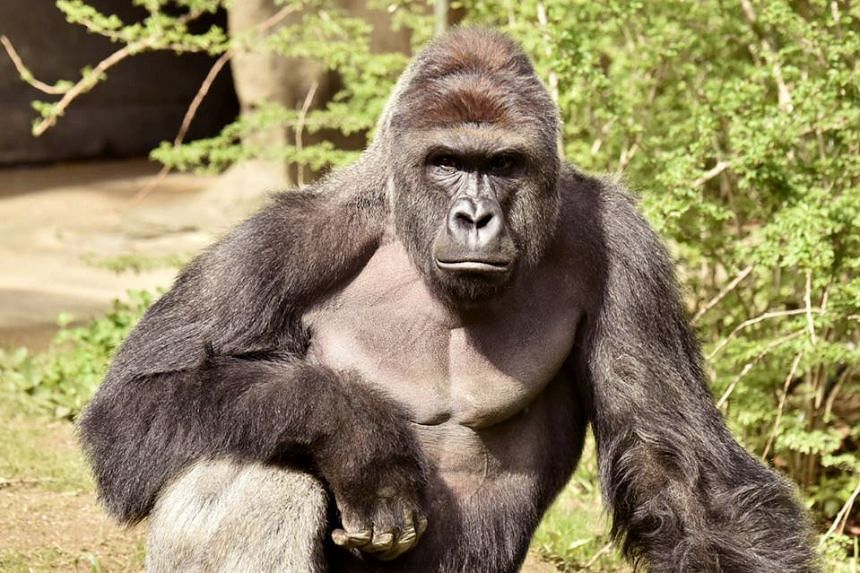 Workers at the Cincinnati Zoo in the US state of Ohio shot and killed a gorilla on Saturday after a three-year-old boy fell into its enclosure.