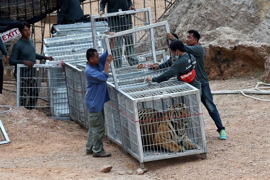 Thai wildlife officials use a tunnel of cages to capture a tiger and remove it from an enclosure at the Wat Pha Luang Ta Bua Tiger Temple in Kanchanaburi province, on May 30, 2016.