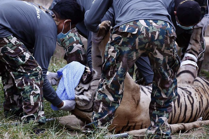 Thai National Park officials move a tiger after it was tranquilised to be moved from the Tiger Temple in Kanchanaburi province, Thailand, on May 30, 2016.