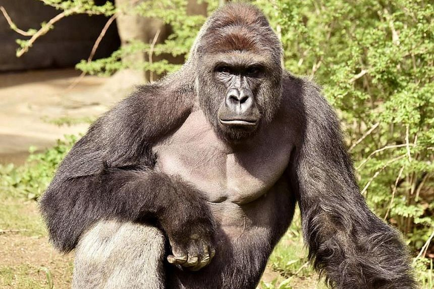(Right) The male gorilla, named Harambe and weighing over 180kg, grabbed the boy and dragged him around the habitat. The boy was hospitalised with injuries that were not life-threatening. (Below) Harambe, in an undated handout picture from the Cincin