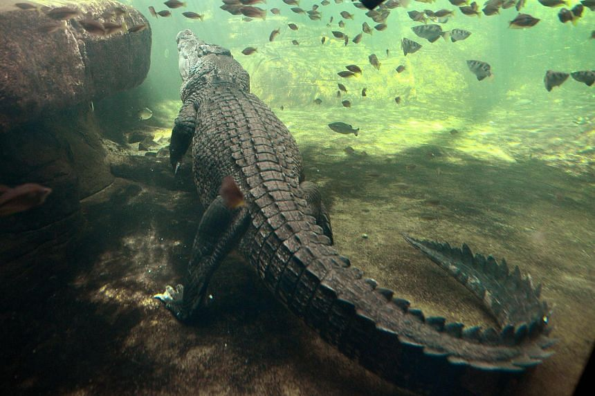 File photograph of a crocodile in a Sydney zoo. A woman is feared dead after being taken by a crocodile following a late night swim with a friend at a beach in northern Australia.