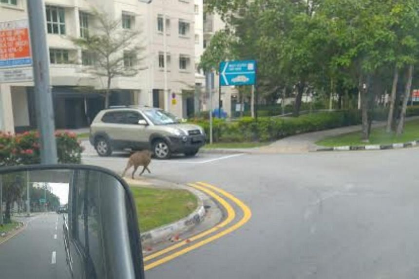 The wild boar was spotted near Block 106B at Edgefield Plains.
