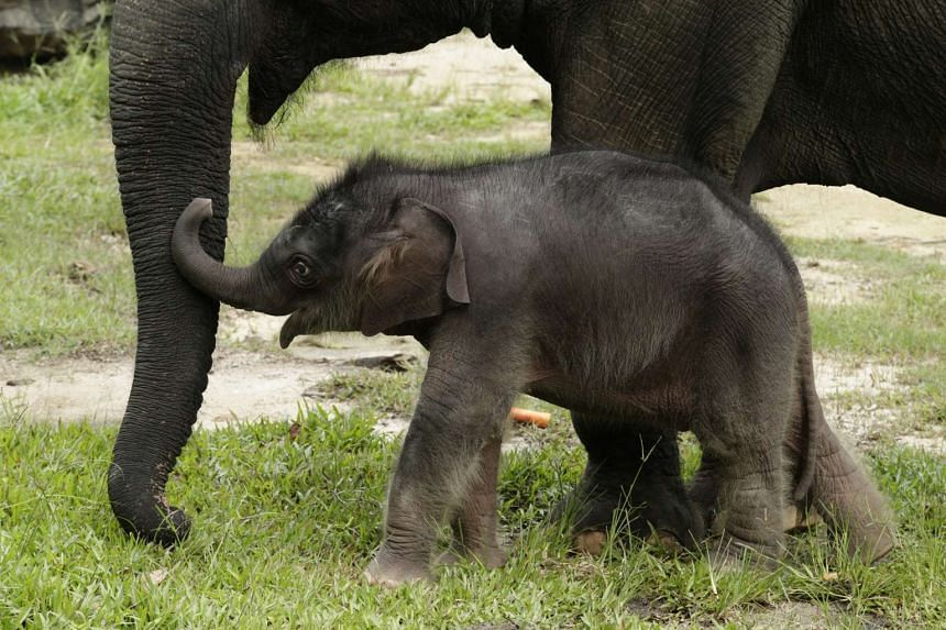 A female baby Asian elephant was born on May 12, 2016, 14 days ahead of the Night Safari's 22nd anniversary.