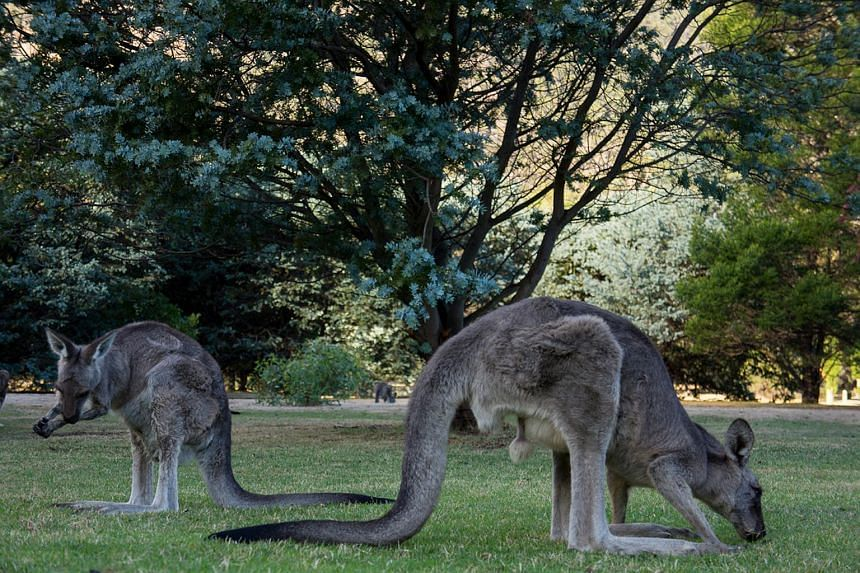 Kangaroos seen in the lawn outside The Grampians Motel in the town of Halls Gap in the Australian state of Victoria.