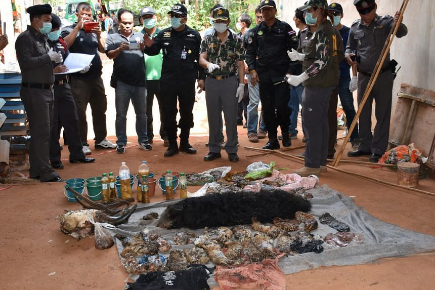 Dead tiger cubs are displayed by Thai officials after they were found during a raid on the controversial Tiger Temple, in Thailand, on June 1, 2016.