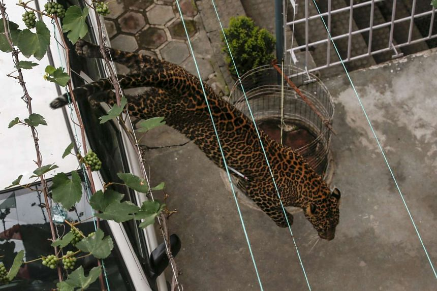The leopard running around the house compound before it was tranquilised by zoo officials, on June 1, 2016.
