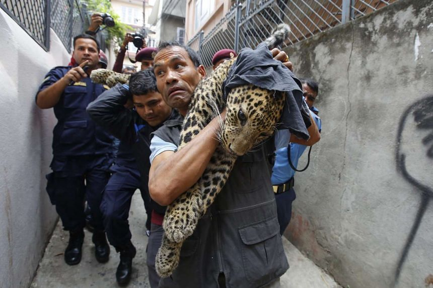 A Nepalese official from the Central Zoo carrying the leopard out of a house after it was captured in Kuleshwor in Kathmandu, Nepal, on June 1, 2016.