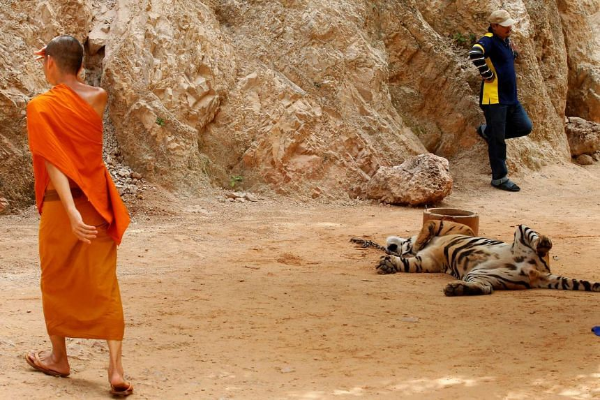 A Buddhist monk walks past a tiger before officials start moving them from Thailand's controversial Tiger Temple on May 30, 2016.