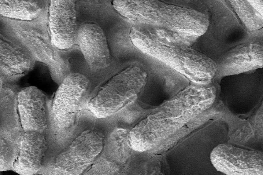 E.coli bacteria before (left) and after (right) they are killed by the new material. Scientists from the Institute of Bioengineering and Nanotechnology took three years to develop the material. IBN scientists Yuan Yuan (far left) and Zhang Yugenwith