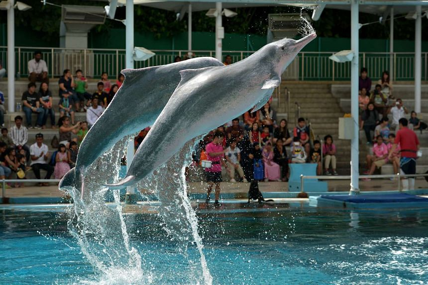 A pair of pink dolphins performing during a show at the Underwater World Singapore in 2014.