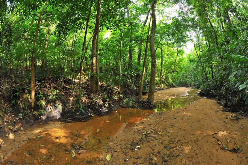 Two freshwater streams, one of the rarest habitats in Singapore, will be canalised during redevelopment of a secondary forest plot in Lentor.